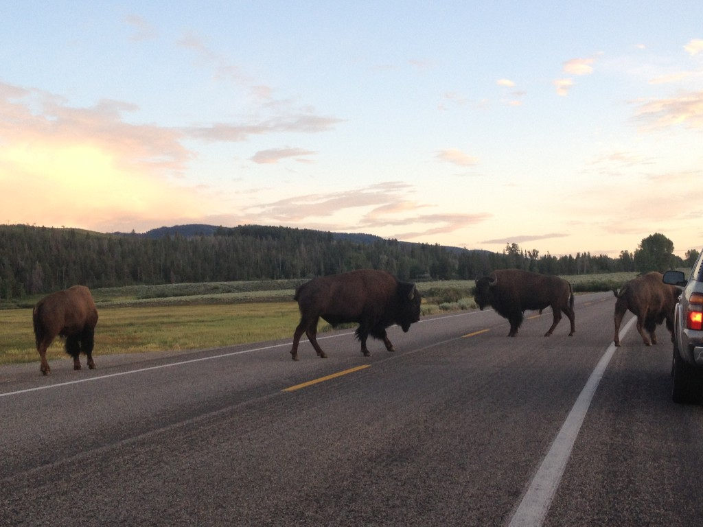 Bison traffic jam returning from Yellowstone